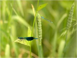 libellules-5448